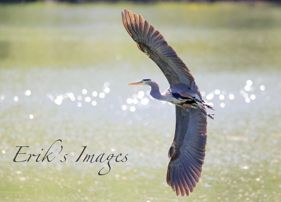 Great Blue Heron Takes Flight