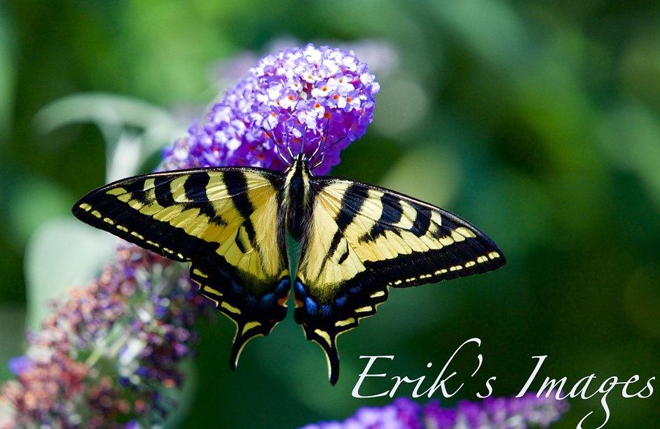 Tiger Swallow Butterfly on Butterfly Bush