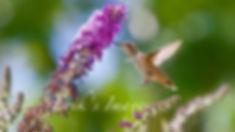 Huuminbird sips from Butterfly Bush