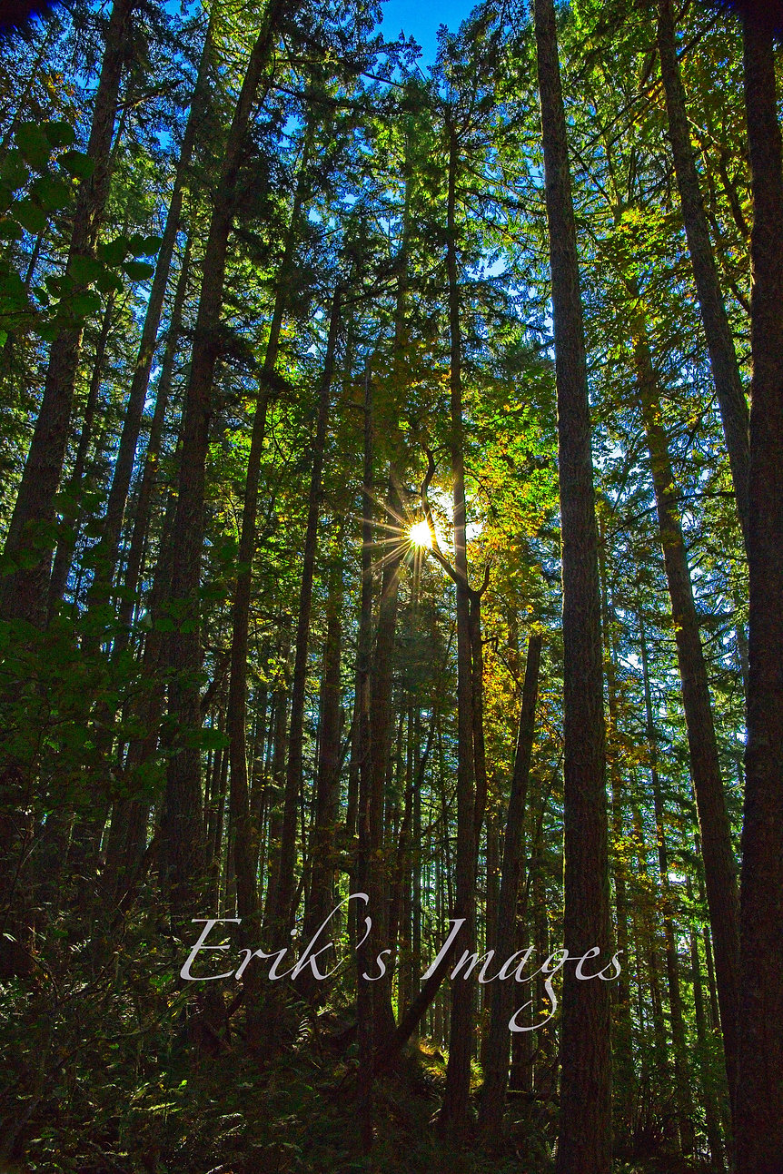 Spencer's Butte Trail Forest Sunburst.jpg