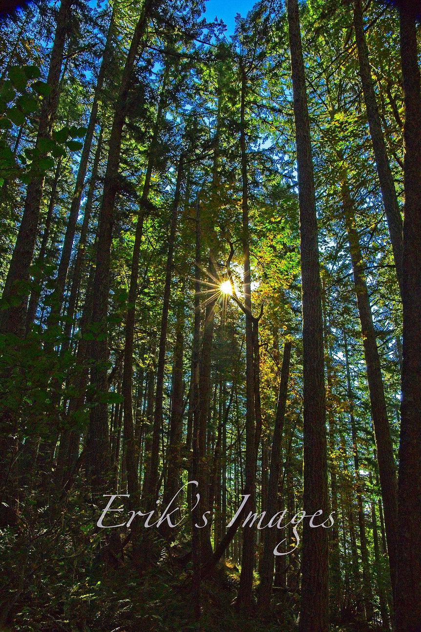 Spencer's Butte Trail Forest Sunburst.jpg