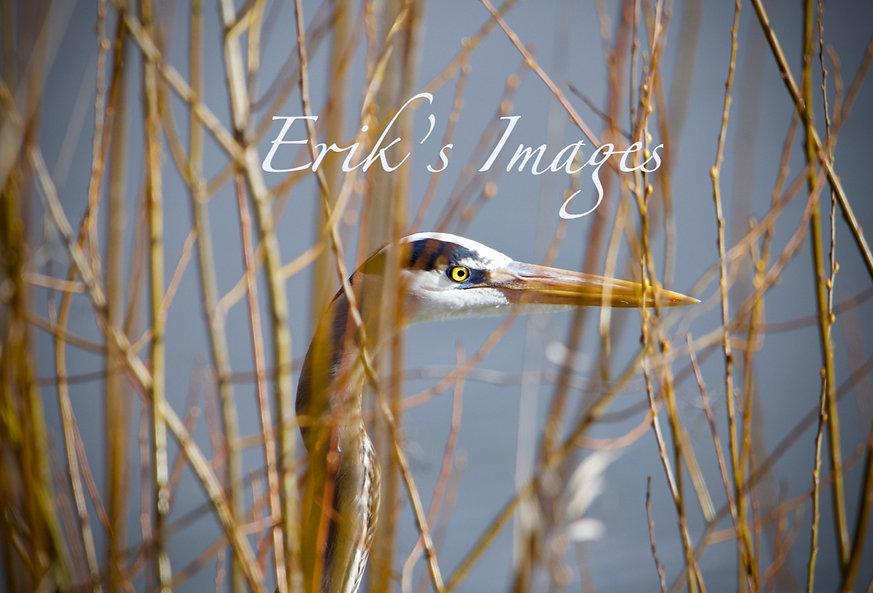 Great Blue Heron Eye