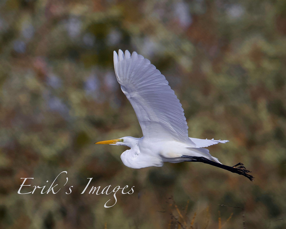 Great Egret Takes Flight