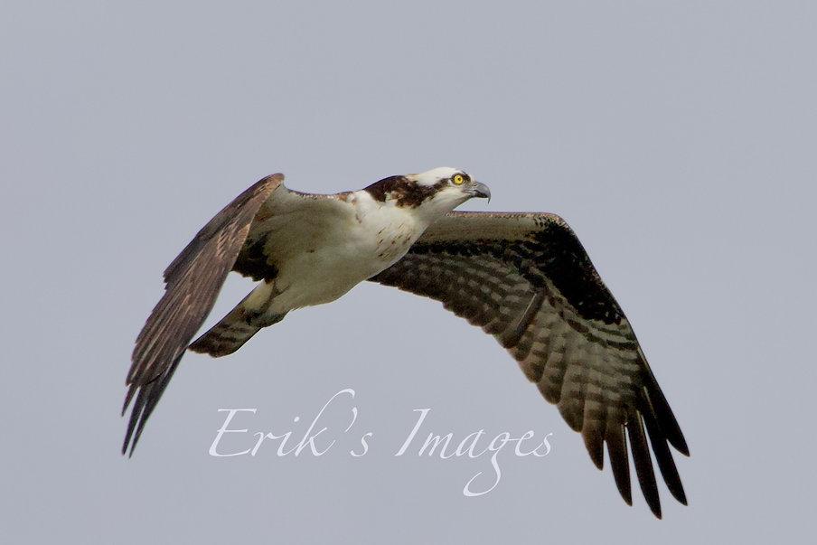 Osprey Elevating