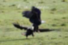 Bald Eagle Squabble