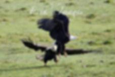 Bald Eagle Squabble
