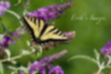Monarch's Butterfly Bush