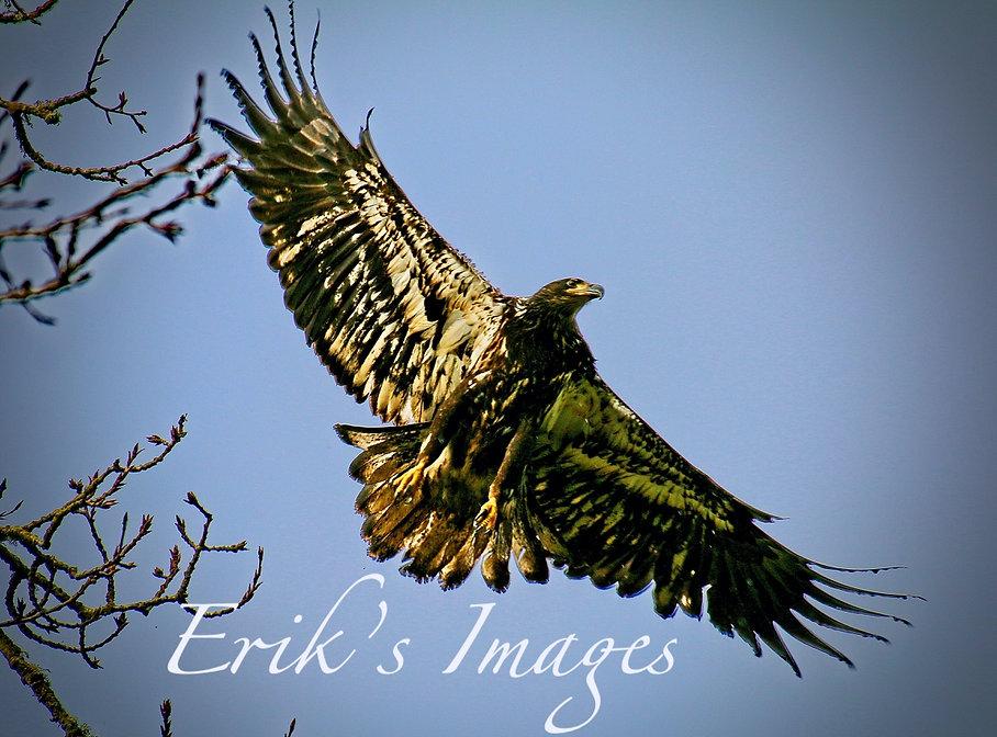 Juvenile Bald Eagle Soars.jpg