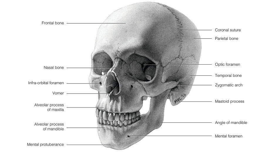 Human skull carbon dust anatomy illustration