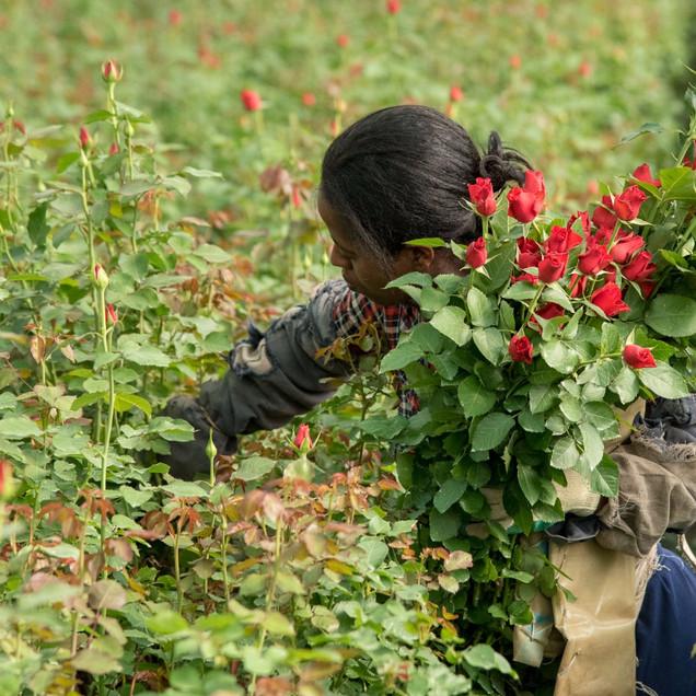Herburg Roses Ethiopie