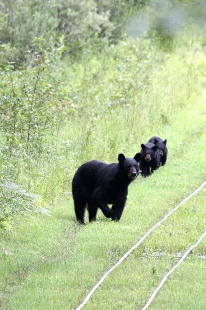 bear & cubs