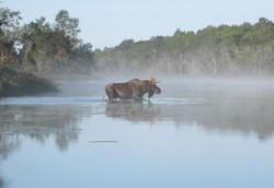 moose at 10 minute bend