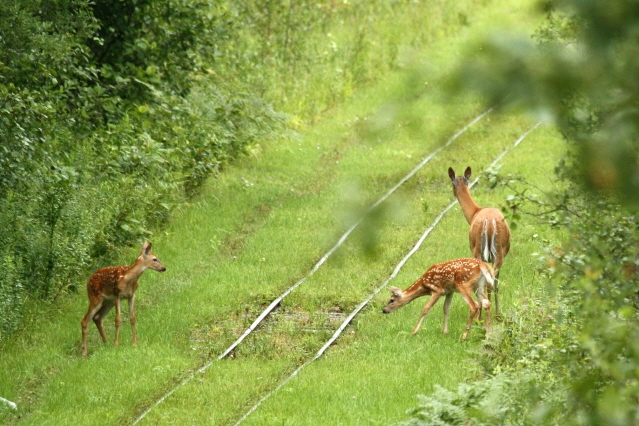 doe & fawns on tracks