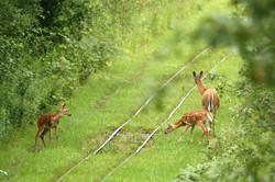 doe & fawns on tracks