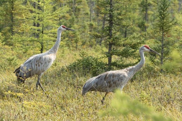 2 sandhill cranes