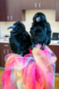 crows inpresser.jpg