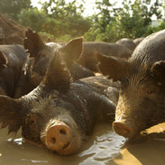 THE LAST PIG - Summer pigs in wallow
