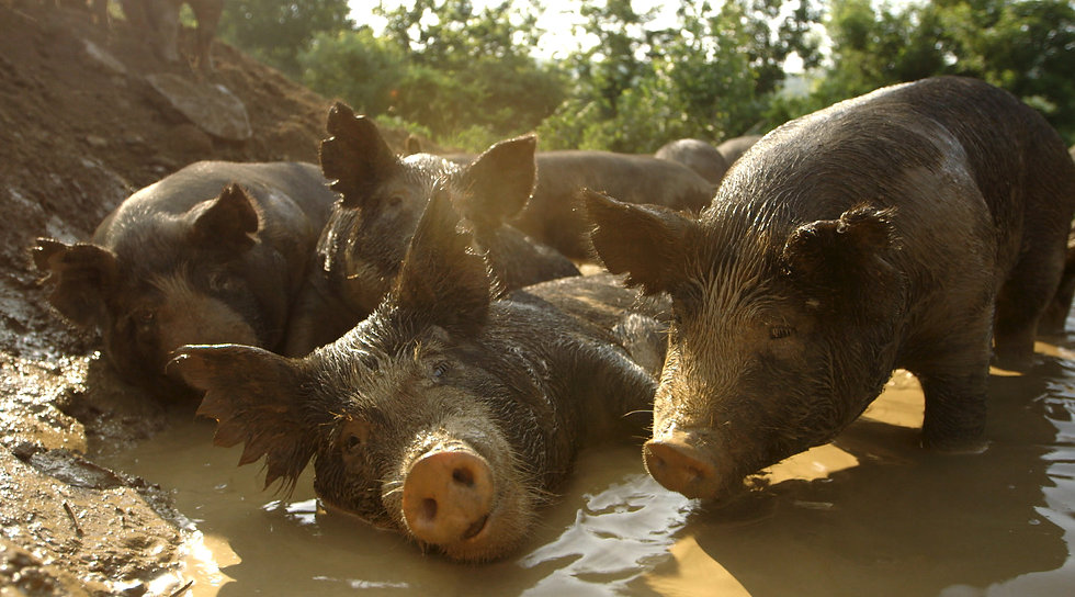 Pigs in wallow2.jpg