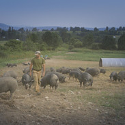 THE LAST PIG - Farmer Bob Comis in a field of pigs on his farm in Schoharie, NY