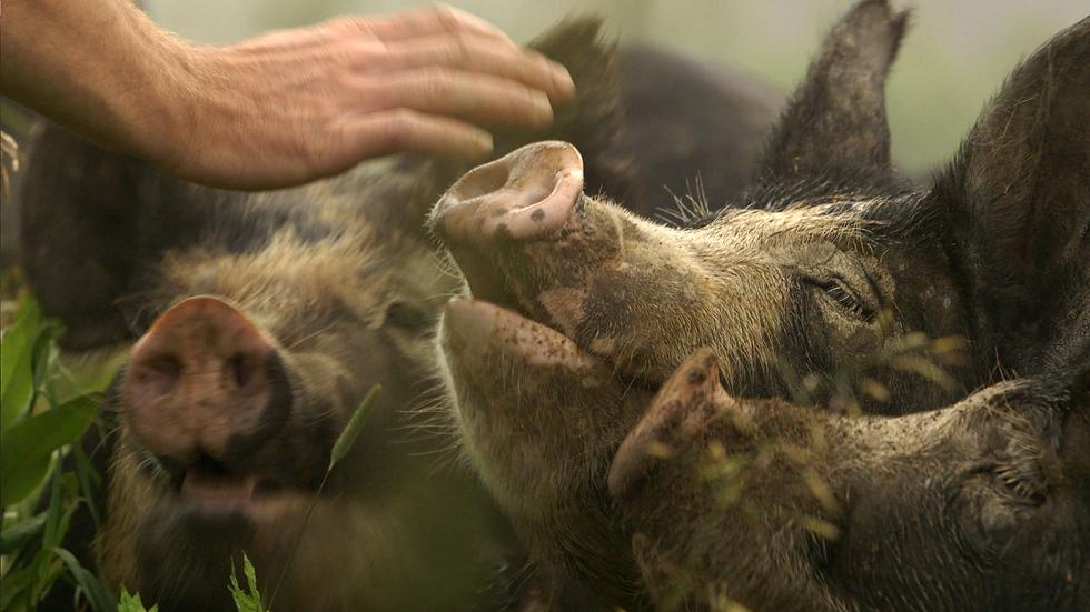 The Last Pig 4.tif