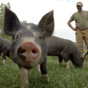 THE LAST PIG - Farmer Bob Comis watches piglets