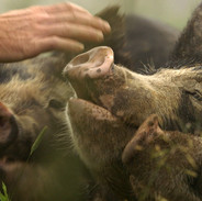 THE LAST PIG - Farmer reaches out to pigs