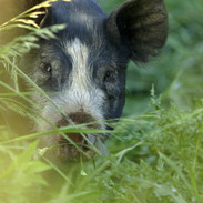 THE LAST PIG - Young pig in field of grass
