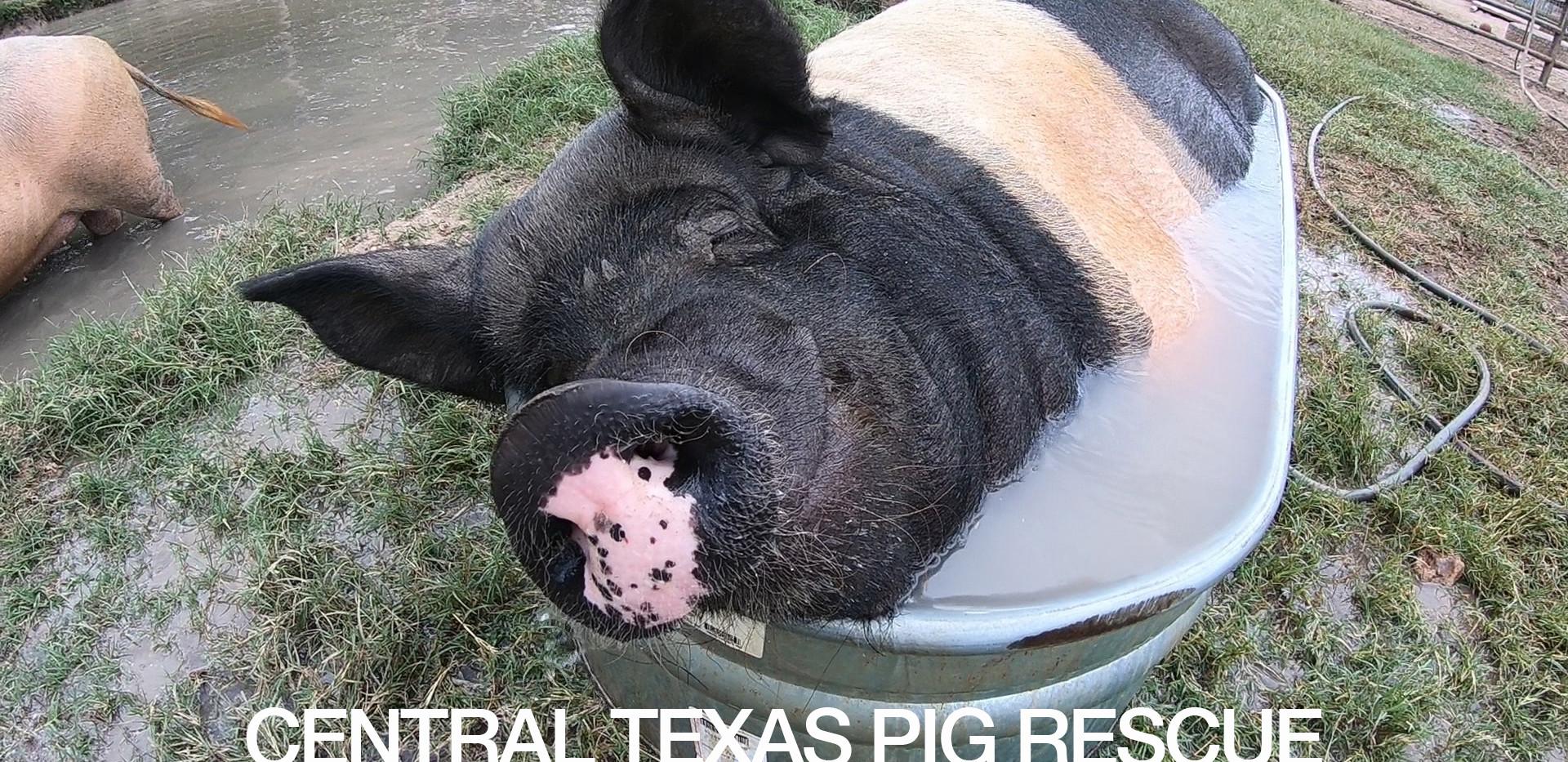 Central Coast Pig Rescue
