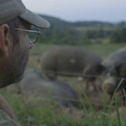 THE LAST PIG - Bob Comis watches pigs in field
