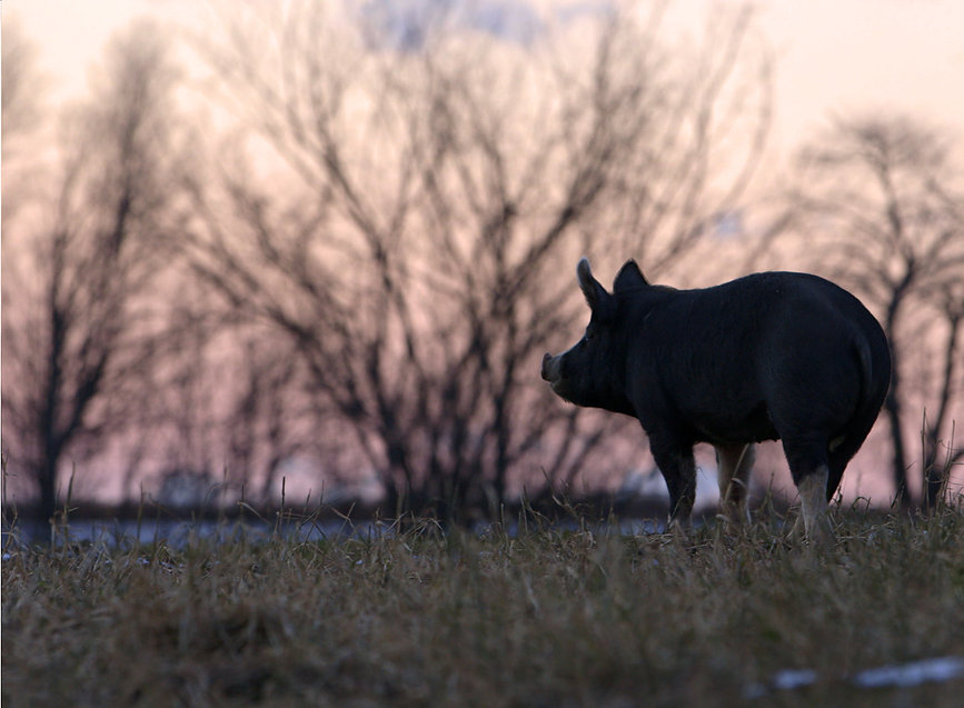 Lone pig, right frame_cropped.jpg
