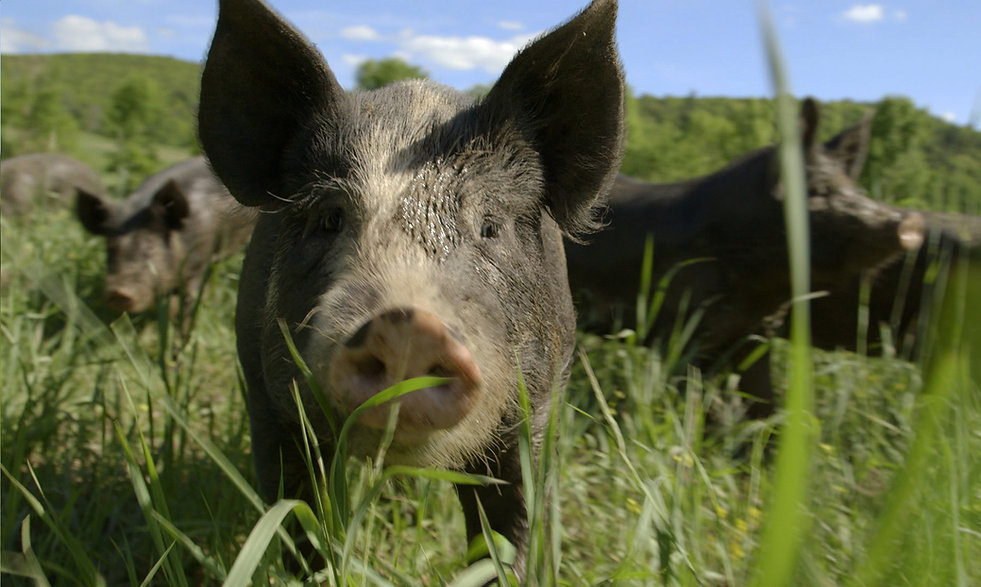 Pig looking directly at camera.jpg