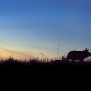 THE LAST PIG - Lone pig in field at dusk