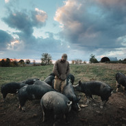 THE LAST PIG - Bob Comis in a field of pigs on his farm in Schoharie, NY