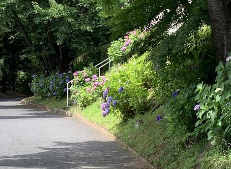 敬寿園自慢の紫陽花