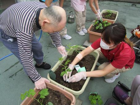 特養でゴーヤの苗を植えました!