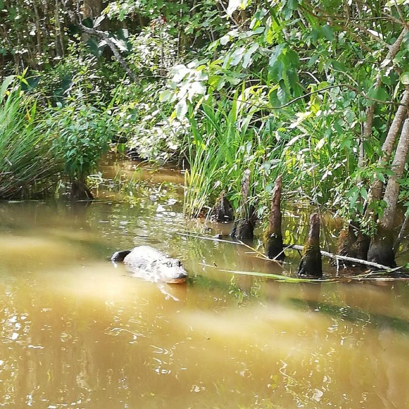 alligator-bayou
