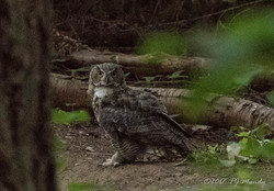 Great Horned Owl hunting