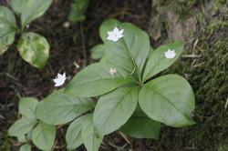 Broad-leaved Starflower