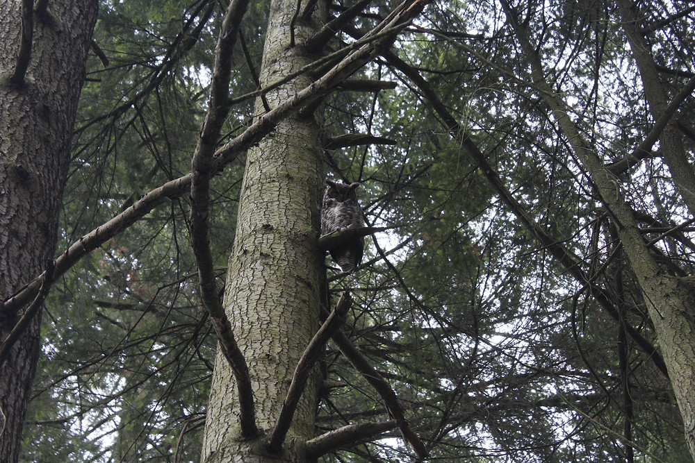 A Great Horned Owl sits in a fir tree on DNR property.