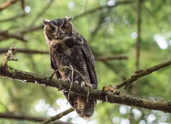 Great Horned