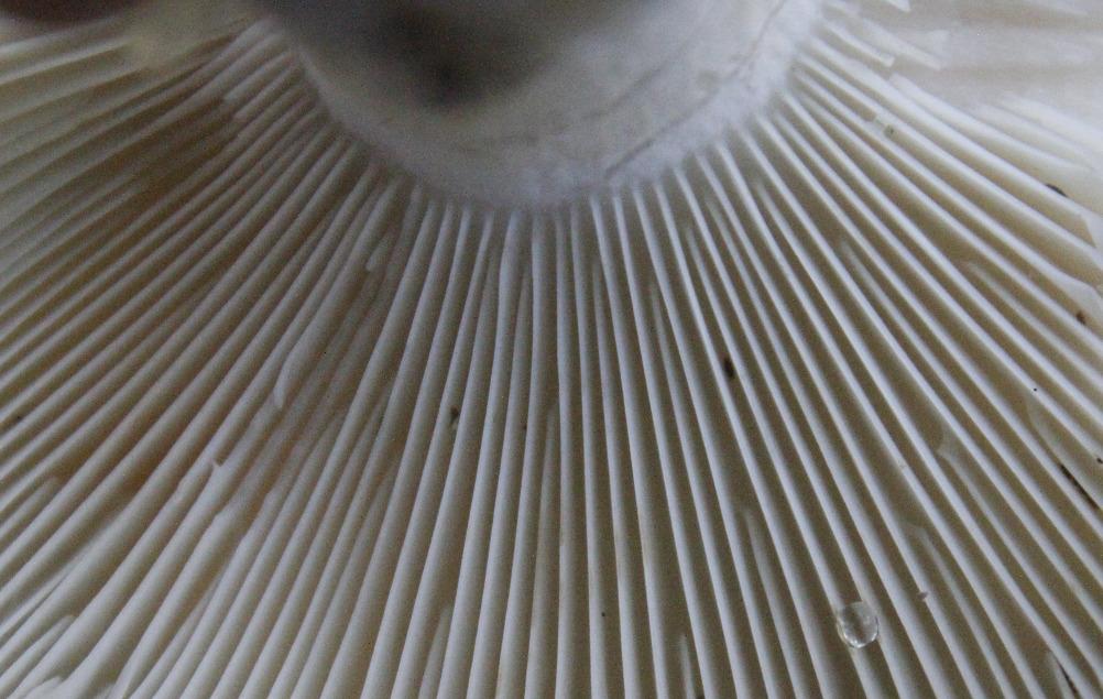 Mushroom underside