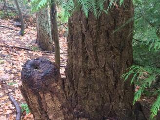 The Living Stump