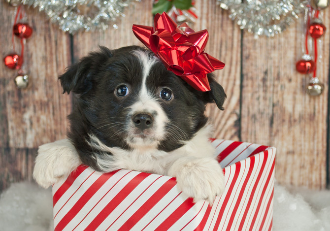 You Got A Puppy For Christmas! Now What?