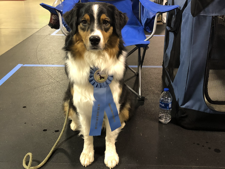 Zap earns another High in Trial, 3 Scentwork titles in AKC Scentwork