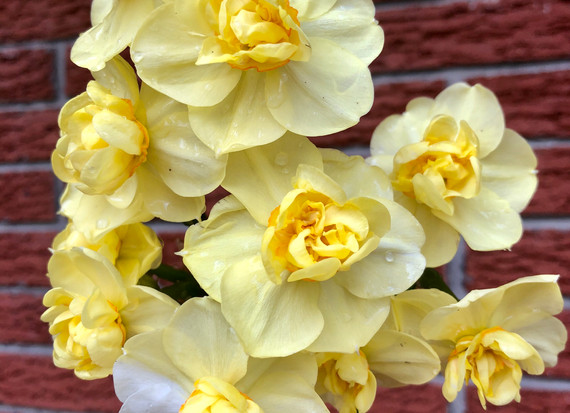 Narcissus Slice of Life flowers