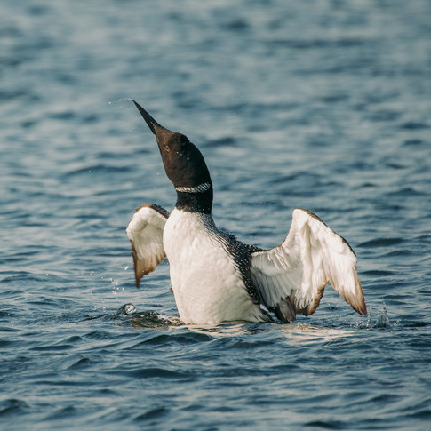 Loon Shakes Off
