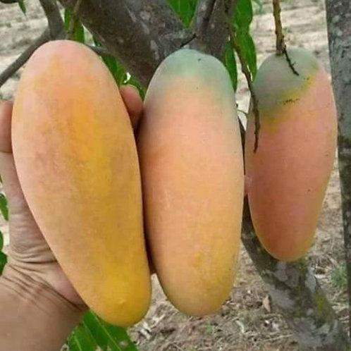 Golek Mango - Mangga Golek (500g)