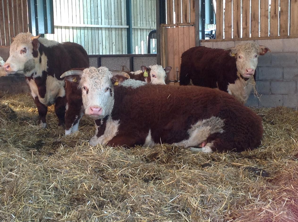 Cattle.5.jpg