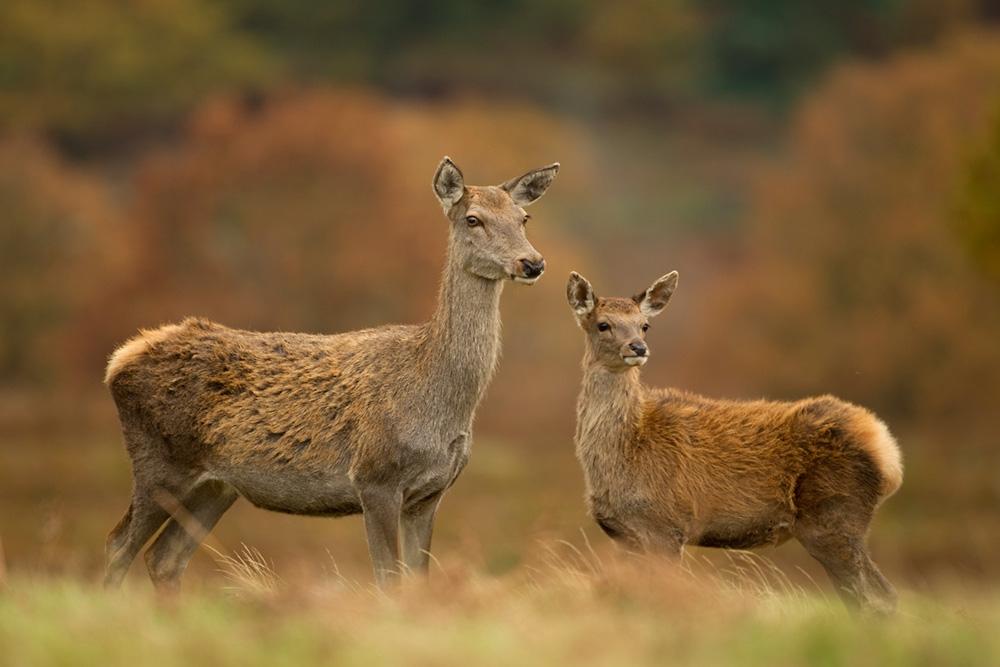 Cervo Rosso - Femmine e Calvi