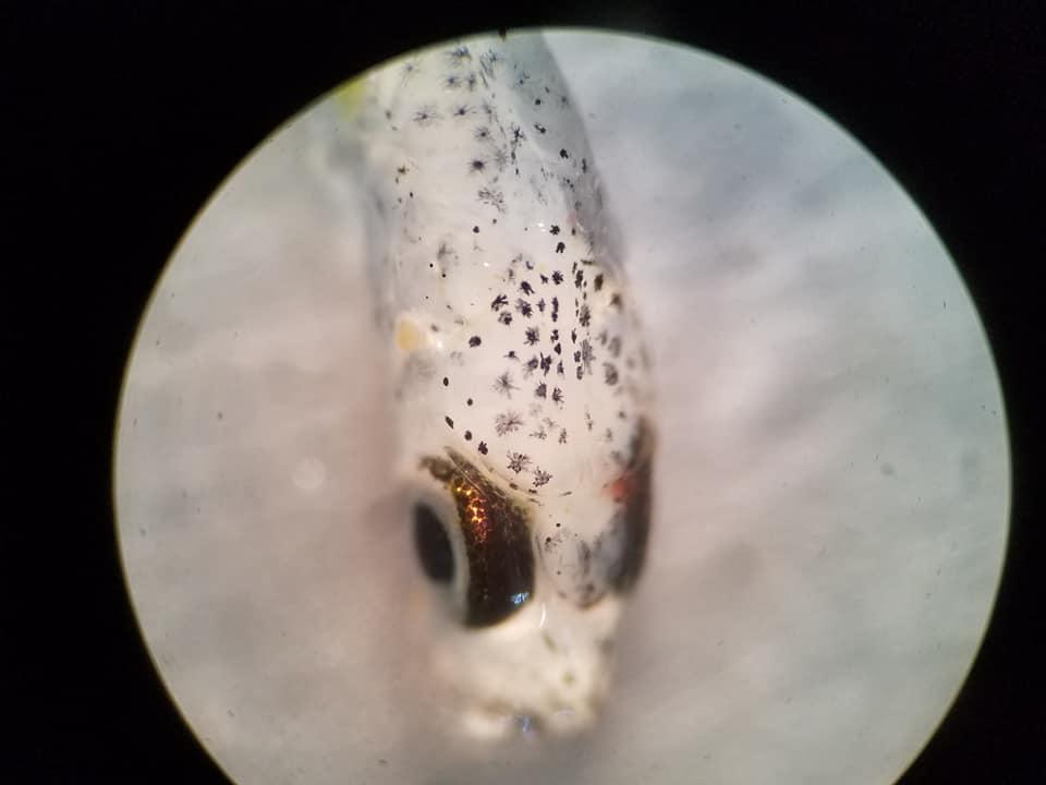 Larval blueback herring